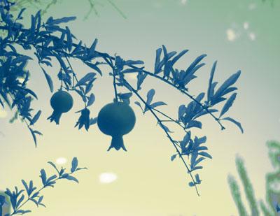 fruited_branch_bluegreen_sm