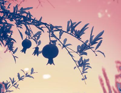 fruited_branch_violet_sm